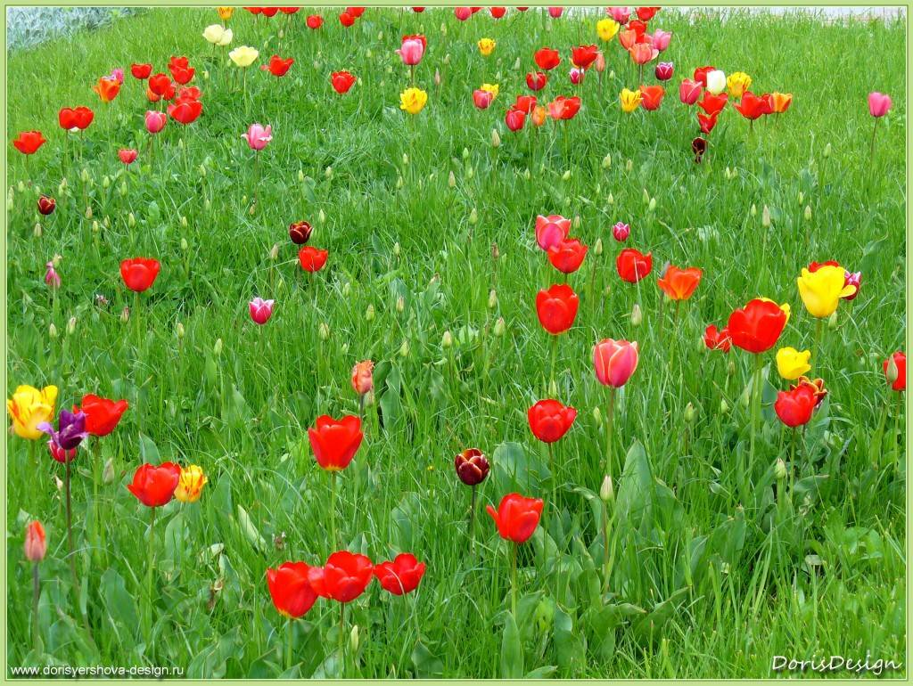 Поляна с тюльпанами. Горячий Ключ. Апрель