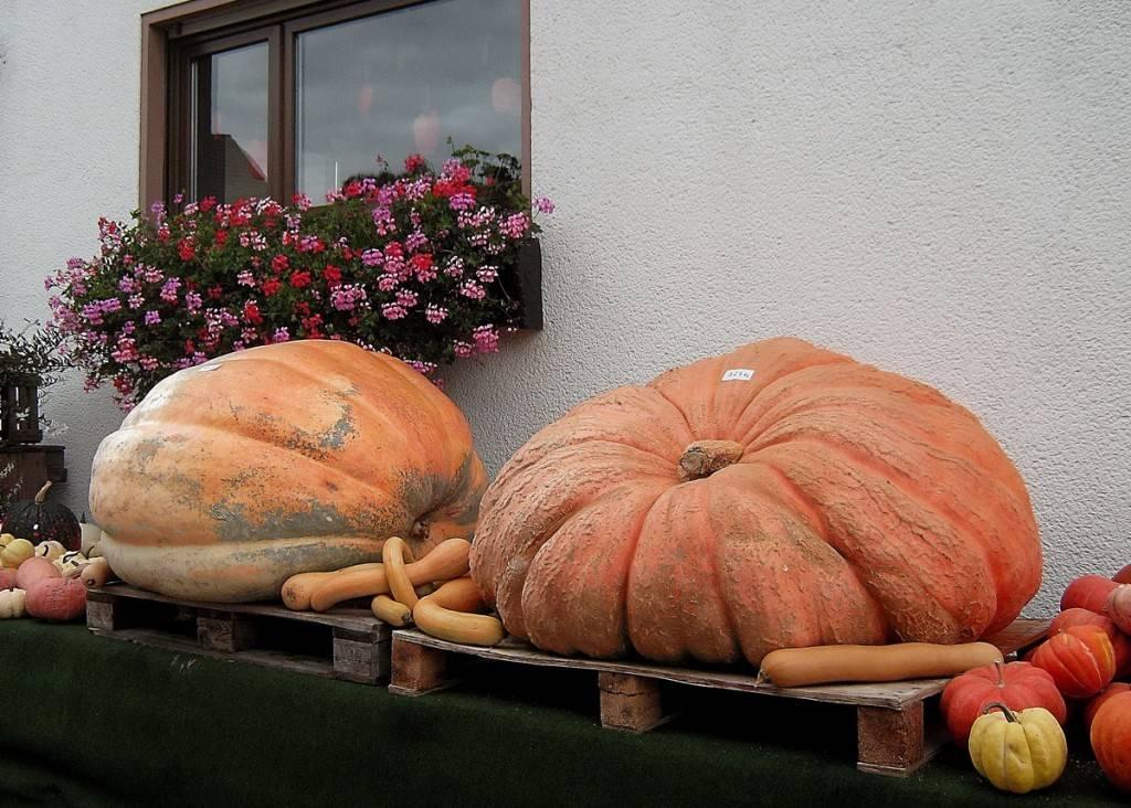 Гигансткие тыквы - осенний декор дома и полезный овощ. Фото - Jenija