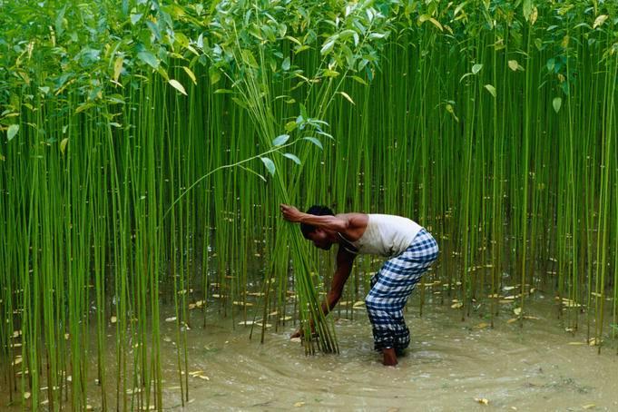 На плантациях джута