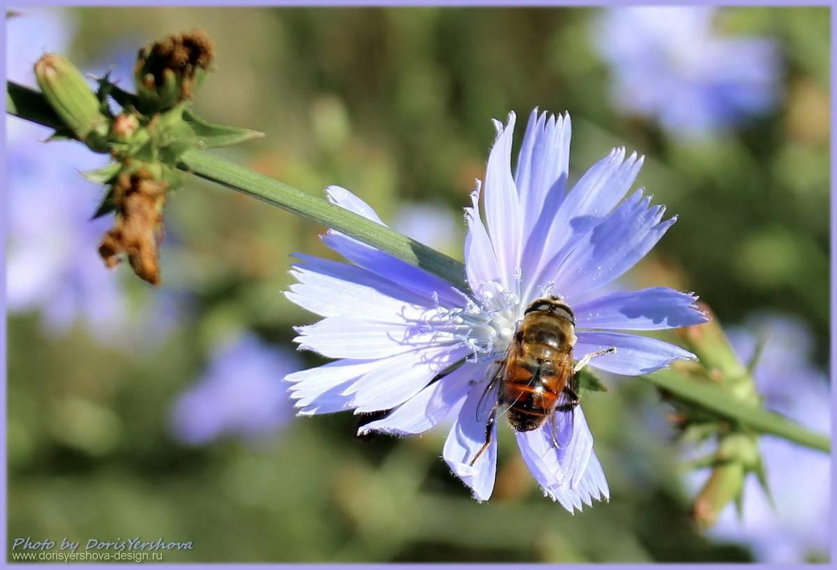 Пчела на цветке цикория. Фото - © Дорис Ершова
