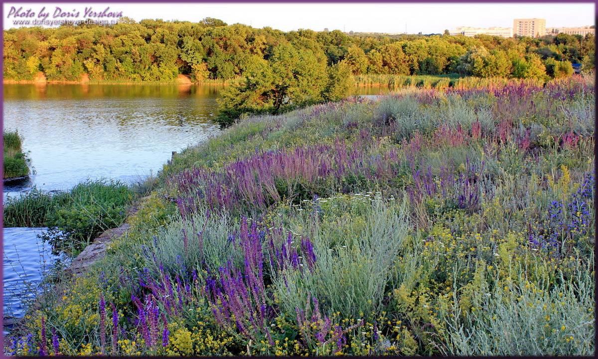 Разнотравье полей июля. Цветущий шалфей. Фото - Дорис Ершова