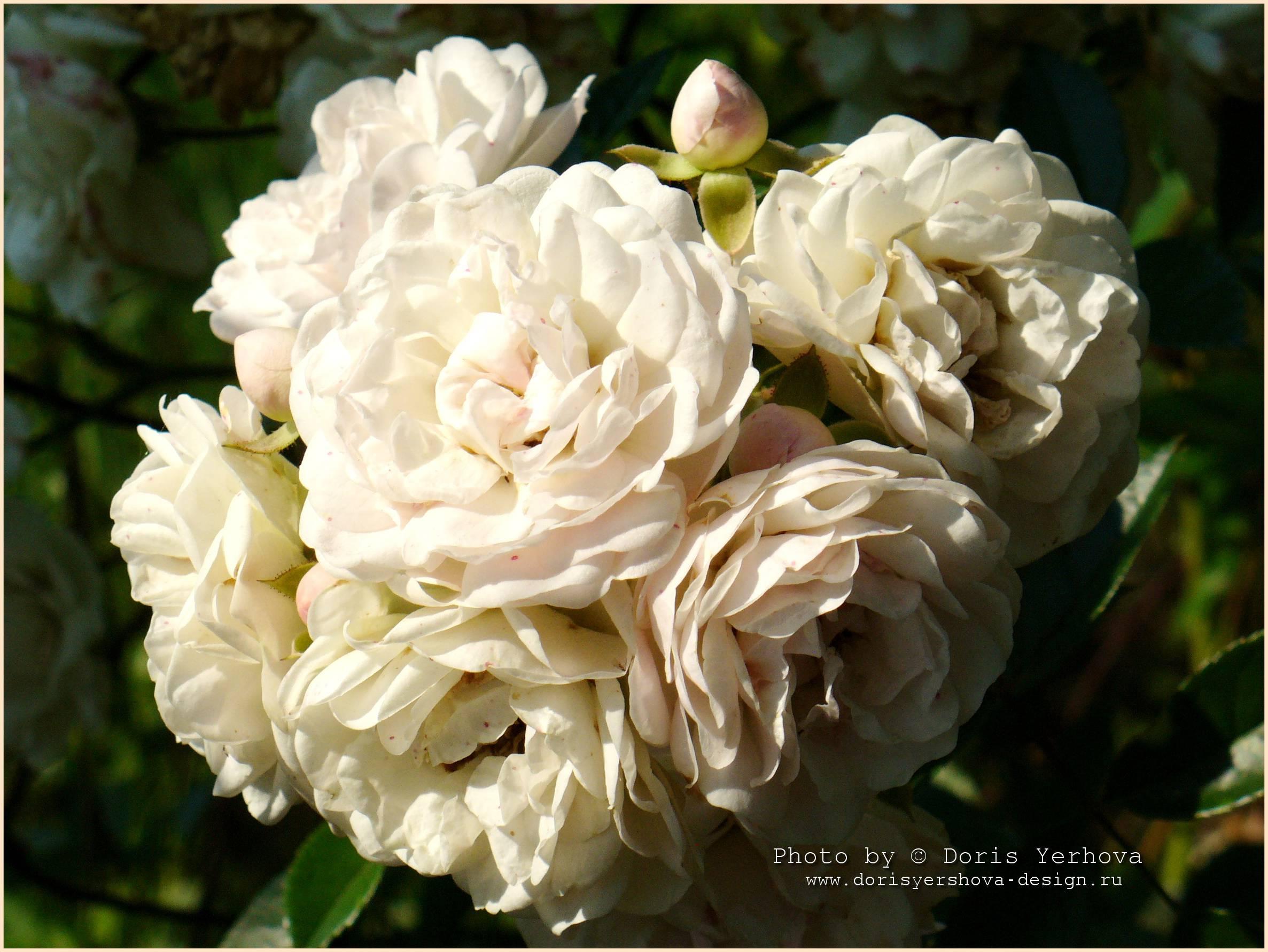 роза, фото Дорис Ершовой