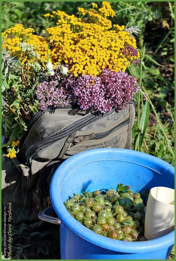 Зеленый крыжовник в голубом ведре. Лекарственные травы в рюкзаке - душица, дикий чеснок, пижма, пустырник